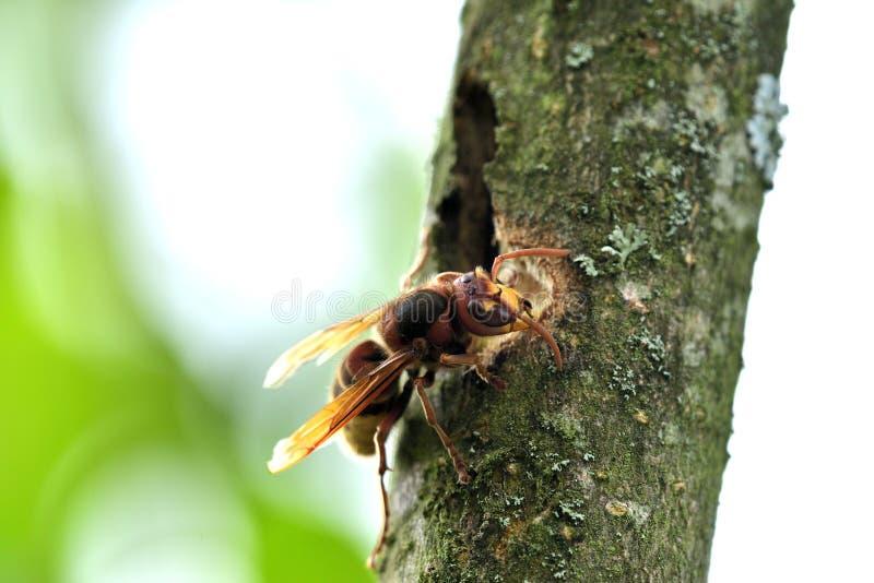Το hornet τρώει το γλυκό φλοιό ενός δέντρου στοκ φωτογραφία