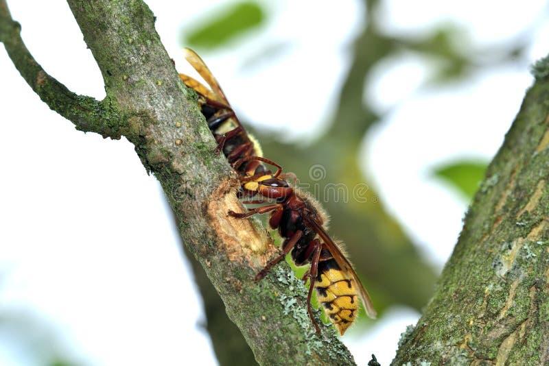 Το hornet τρώει το γλυκό φλοιό ενός δέντρου στοκ φωτογραφίες με δικαίωμα ελεύθερης χρήσης