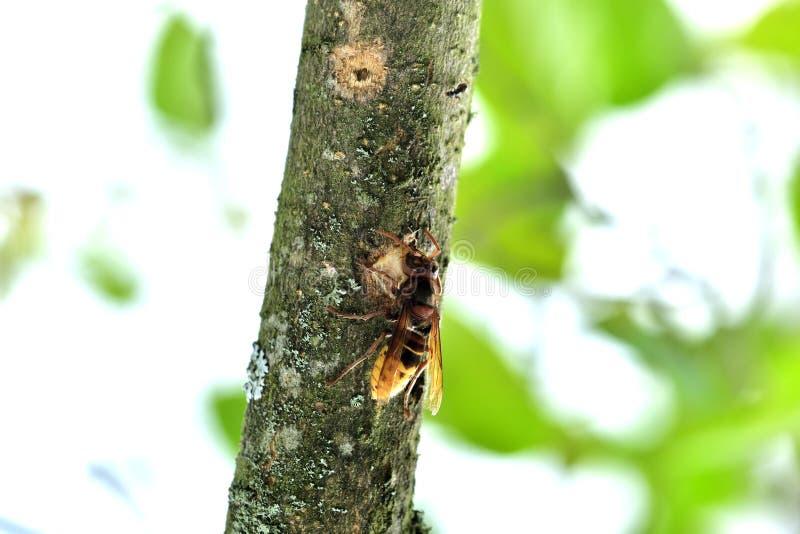 Το hornet τρώει το γλυκό φλοιό ενός δέντρου στοκ εικόνα