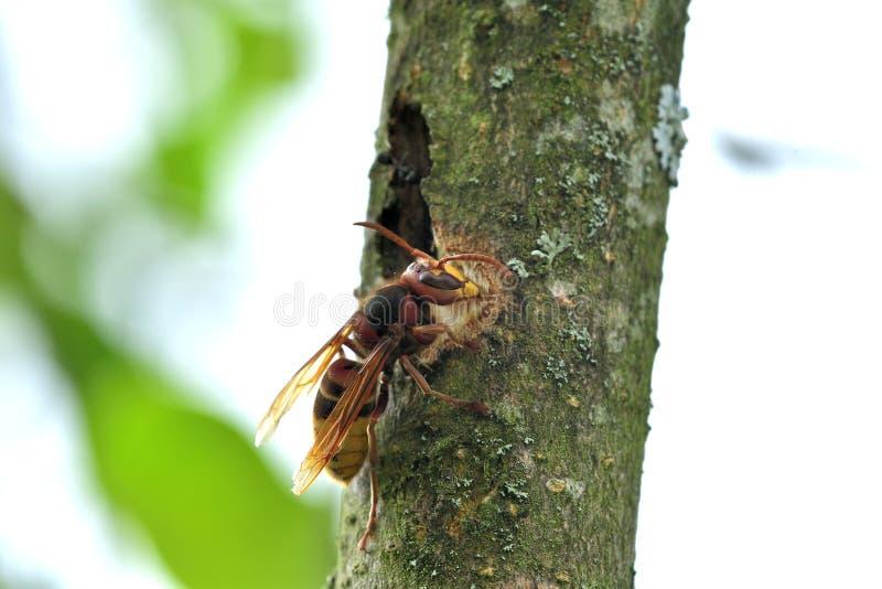 Το hornet τρώει το γλυκό φλοιό ενός δέντρου στοκ εικόνα με δικαίωμα ελεύθερης χρήσης