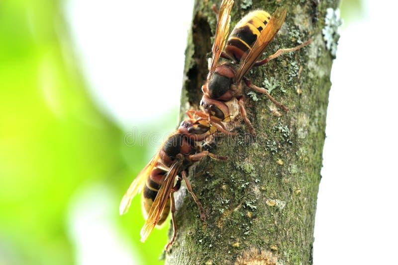 Το hornet τρώει το γλυκό φλοιό ενός δέντρου στοκ φωτογραφία με δικαίωμα ελεύθερης χρήσης