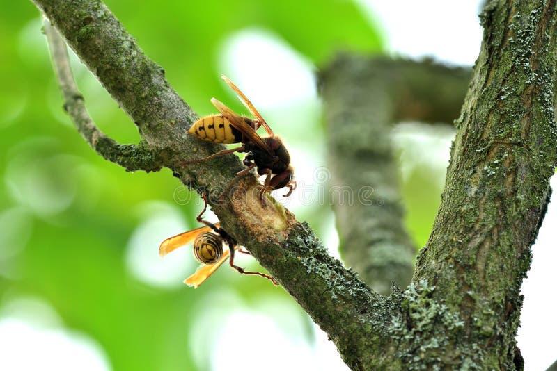 Το hornet τρώει το γλυκό φλοιό ενός δέντρου στοκ φωτογραφίες