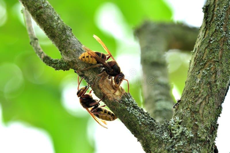 Το hornet τρώει το γλυκό φλοιό ενός δέντρου στοκ εικόνες με δικαίωμα ελεύθερης χρήσης