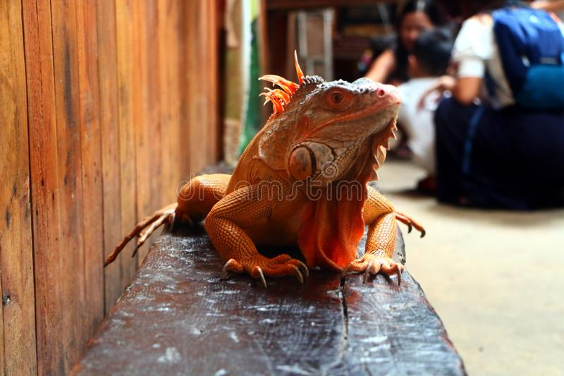 Το Iguana είναι ένα γένος των χορτοφάγων σαυρών που είναι εγγενείς στις τροπικές περιοχές στοκ εικόνες