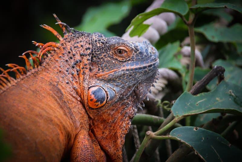Το Iguana είναι ένα γένος των χορτοφάγων σαυρών στοκ φωτογραφία