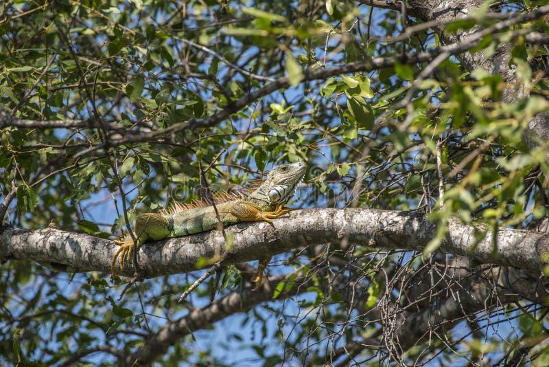 Το Iguana είναι ένα γένος των χορτοφάγων σαυρών στοκ φωτογραφίες με δικαίωμα ελεύθερης χρήσης