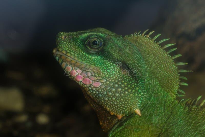 Το iguana στοκ εικόνα