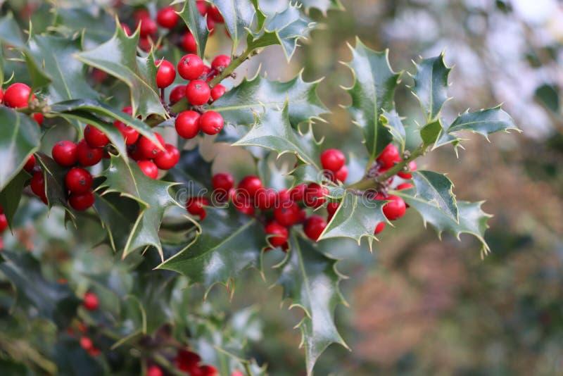 Το Ilex, ή ο ελαιόπρινος, αυτό είναι ένα γένος των μικρών, αειθαλών δέντρων με τα ομαλά, άτριχα, ή εφηβικά branchlets Οι εγκαταστ στοκ εικόνα