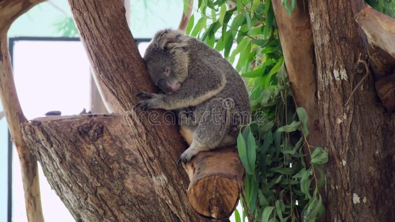 Το Koala κοιμάται σε ένα δέντρο Έννοια των ζώων στο ζωολογικό κήπο Ζωολογικός κήπος Pattaya, Ταϊλάνδη στοκ φωτογραφίες