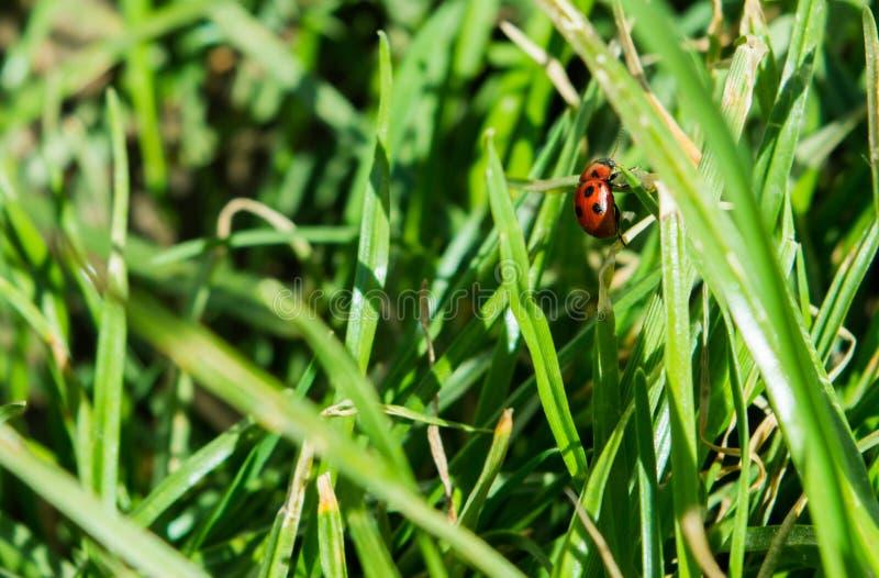Το Ladybug αναρριχείται στη λεπίδα χλόης στοκ εικόνα