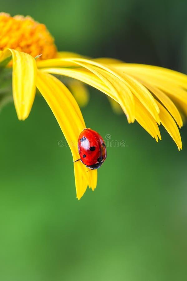 Το ladybug κάθεται σε ένα κίτρινο πέταλο λουλουδιών στοκ φωτογραφίες με δικαίωμα ελεύθερης χρήσης
