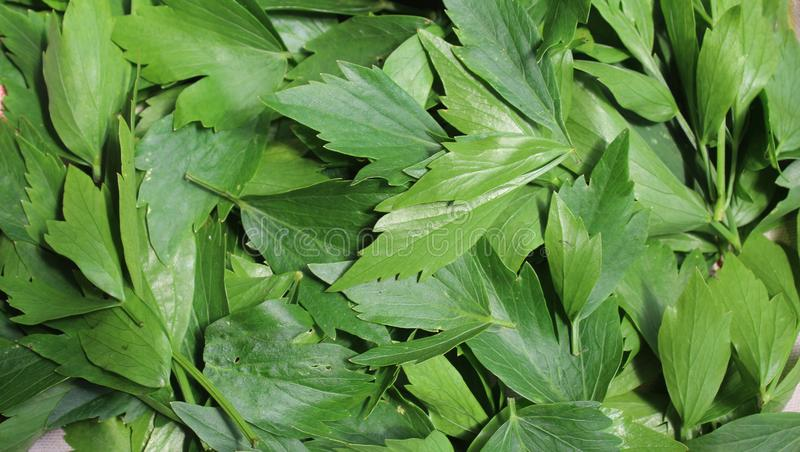 Το Levisticum officinale, κάλεσε συνήθως lovage το φυτό, χορτάρια, καρυκεύματα, φύλλα, που προετοιμάζονται για την ξήρανση στοκ φωτογραφίες με δικαίωμα ελεύθερης χρήσης