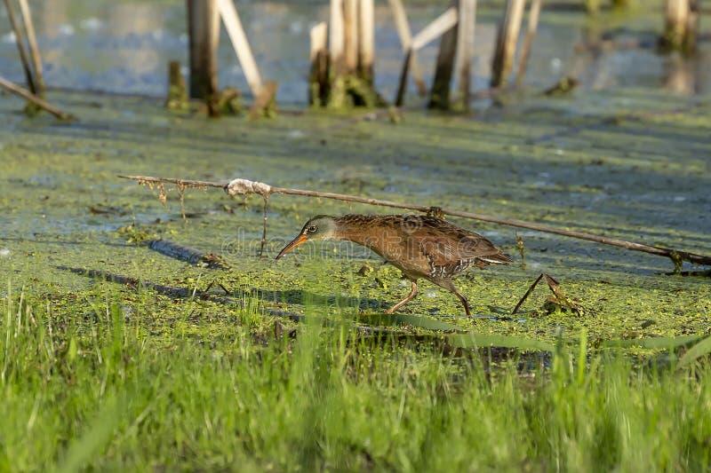 Το limicola Rallus ραγών της Βιρτζίνια, μικρό waterbird στοκ φωτογραφία