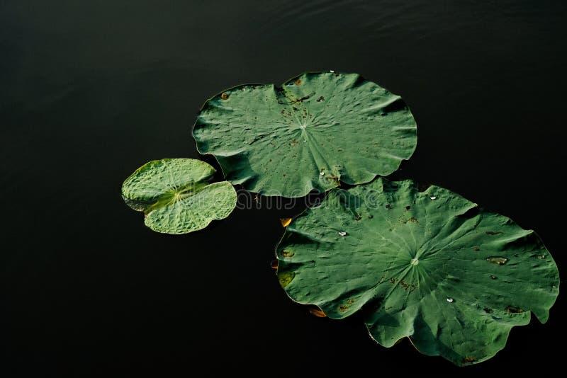 Το Lotus βγάζει φύλλα στοκ εικόνες