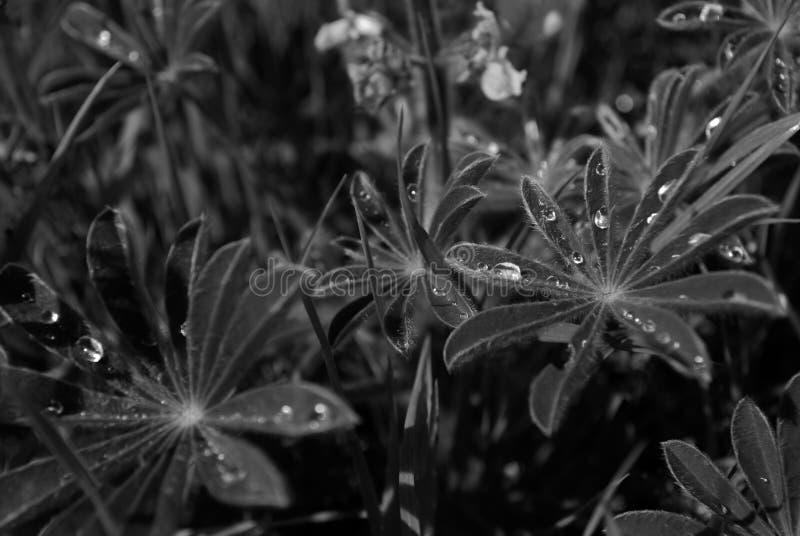 Το Lupine βγάζει φύλλα με τη δροσιά στοκ φωτογραφίες