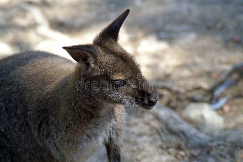 Το Macropods είναι marsupials, η οικογένεια καγκουρό στοκ φωτογραφία με δικαίωμα ελεύθερης χρήσης