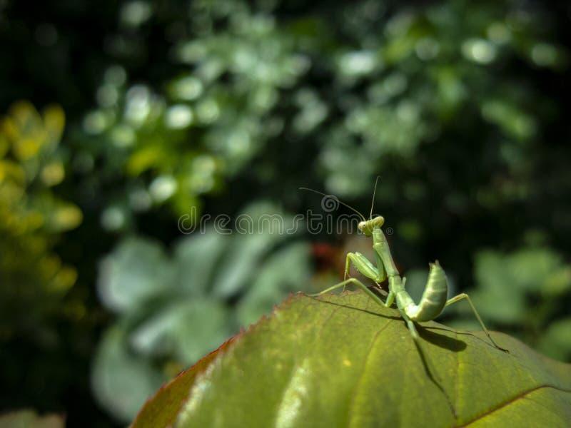 Το Mantis από τα viridis οικογενειακού Sphondromantis κάθεται σε ένα μεγάλο φύλλο αυξήθηκε στοκ εικόνες