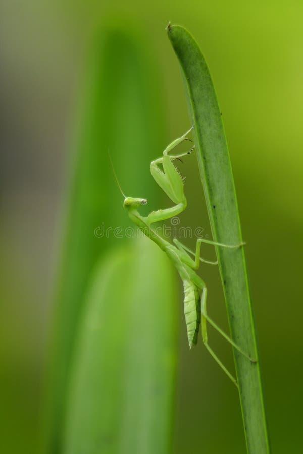 Το Mantodea είναι σε ένα πράσινο φύλλο στοκ εικόνες