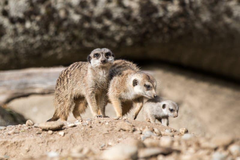 Το meerkat ή suricate το suricatta Suricata είναι ένα μικρό carnivoran, meercat οικογένεια που ψάχνει για τα τρόφιμα στον αμμόλοφ στοκ εικόνες με δικαίωμα ελεύθερης χρήσης
