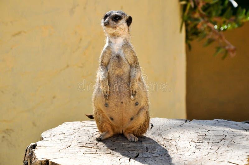Το meerkat σε ένα στέλεχος στο πάρκο Friguia. Τυνησία. στοκ φωτογραφία
