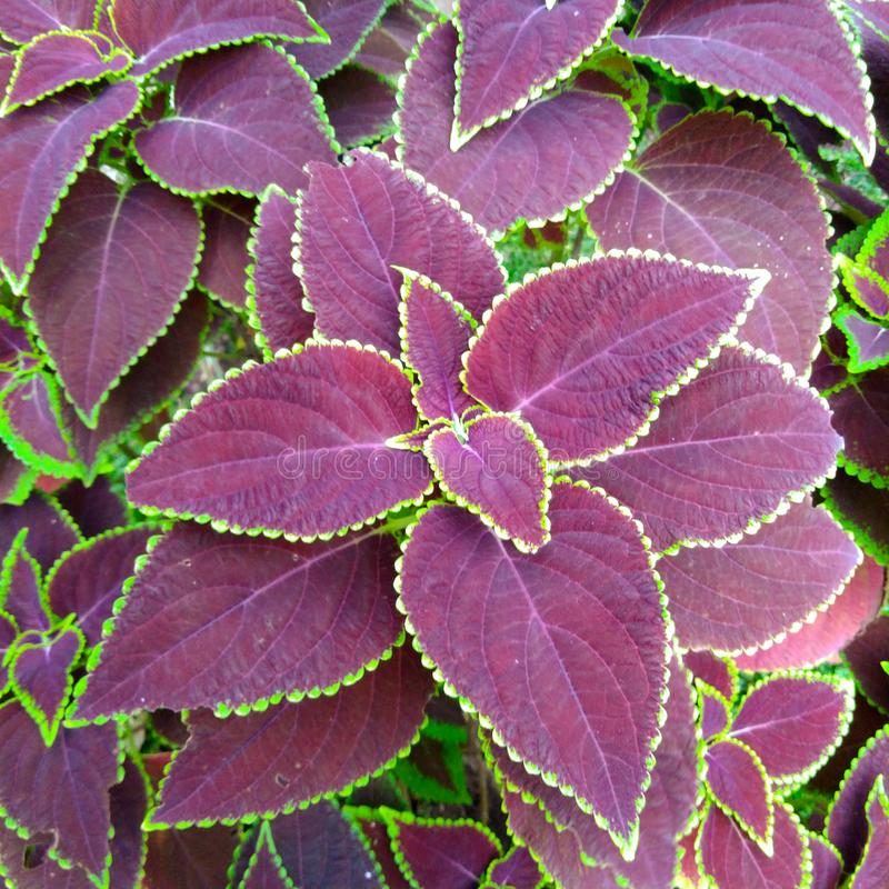 Το miana Bunga, ή coleus το λουλούδι είναι ένα φυτό που έχει το ζωηρόχρωμο φύλλο, αποτελείται από πράσινος και πορφυρός στοκ εικόνες