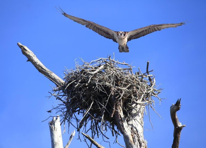 Το Osprey πετά δεξιά σε σας μετά από να φύγει αυτό είναι φωλιά στοκ εικόνα