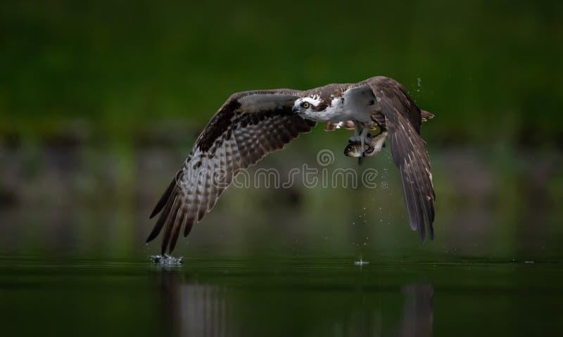Το Osprey πιάνει ένα ψάρι στοκ φωτογραφία με δικαίωμα ελεύθερης χρήσης