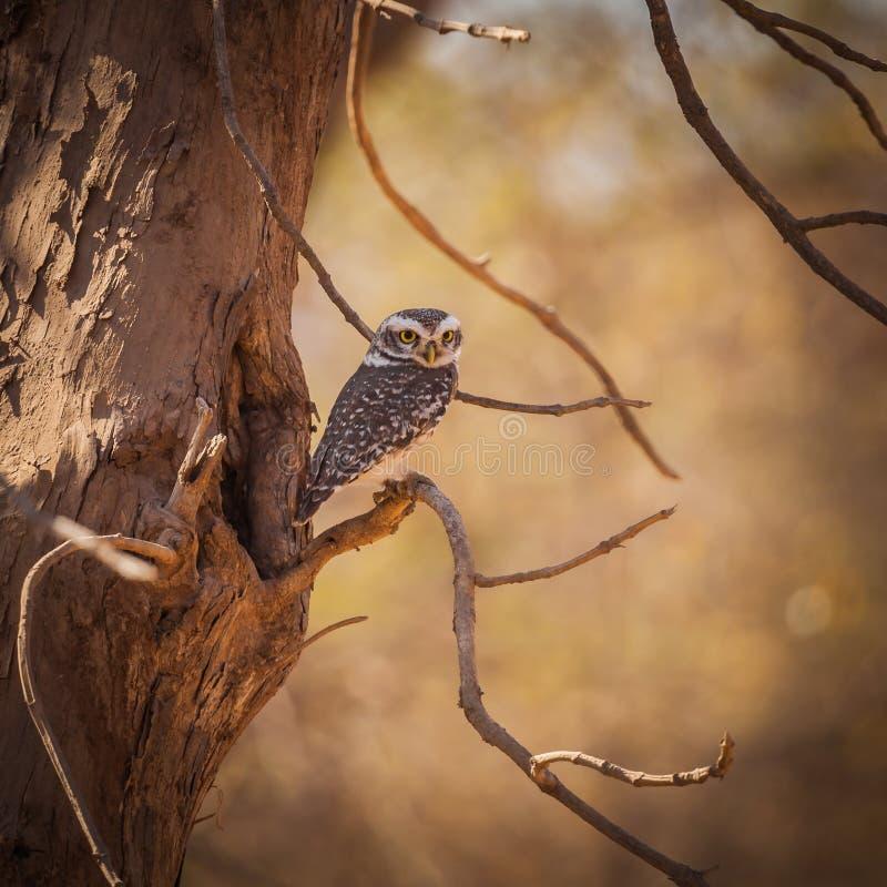 Το owlet ζουγκλών στοκ φωτογραφία με δικαίωμα ελεύθερης χρήσης