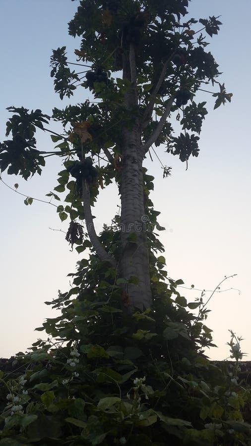 Το papaya δέντρο στοκ εικόνες με δικαίωμα ελεύθερης χρήσης
