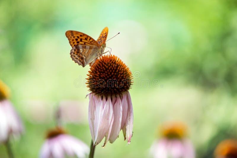 Το paphia Argynnis πεταλούδων συλλέγει το νέκταρ από ένα λουλούδι echinacea μια θερινή ημέρα στοκ φωτογραφία με δικαίωμα ελεύθερης χρήσης