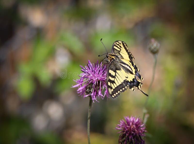 Το Papilio machaon, ο Παλαιός Κόσμος swallowtail, είναι μια πεταλούδα της οικογένειας Papilionidae στοκ φωτογραφίες με δικαίωμα ελεύθερης χρήσης