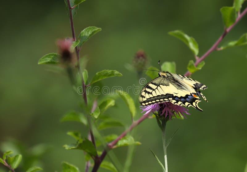 Το Papilio machaon, ο Παλαιός Κόσμος swallowtail, είναι μια πεταλούδα της οικογένειας Papilionidae στοκ φωτογραφία