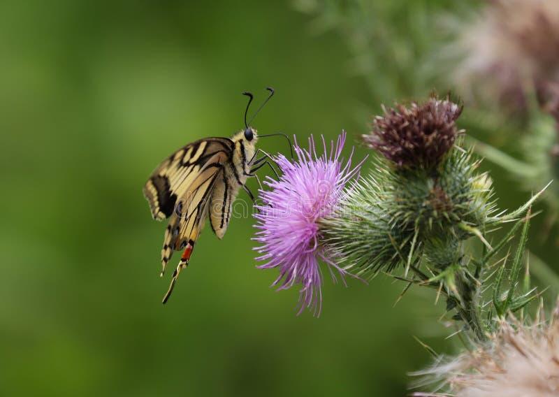 Το Papilio machaon, ο Παλαιός Κόσμος swallowtail, είναι μια πεταλούδα της οικογένειας Papilionidae στοκ φωτογραφίες