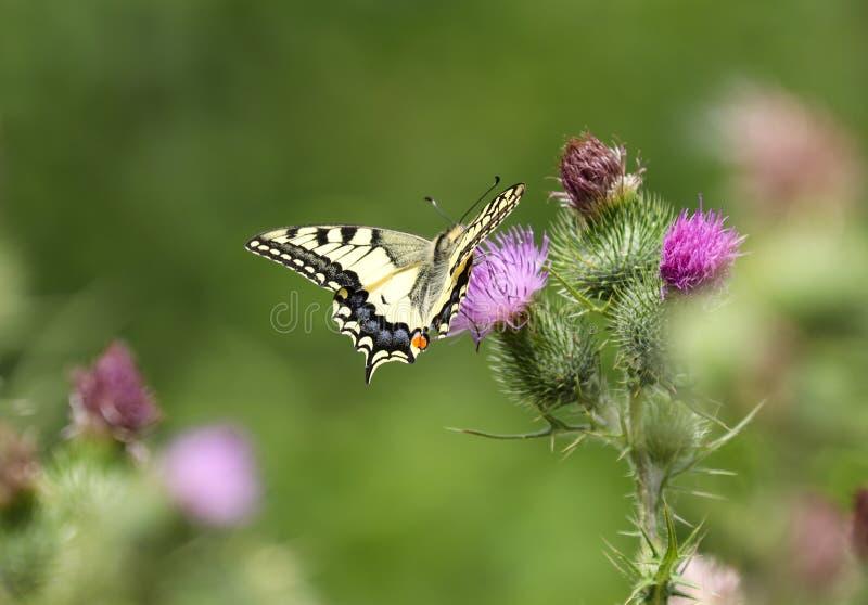 Το Papilio machaon, ο Παλαιός Κόσμος swallowtail, είναι μια πεταλούδα της οικογένειας Papilionidae στοκ εικόνα με δικαίωμα ελεύθερης χρήσης