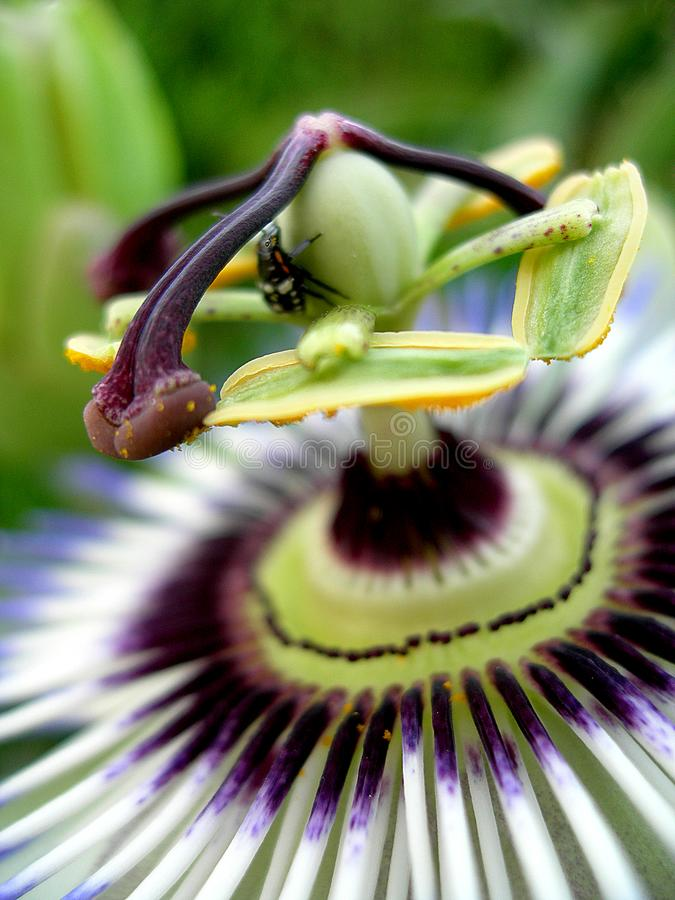 Το passionflower στοκ φωτογραφίες