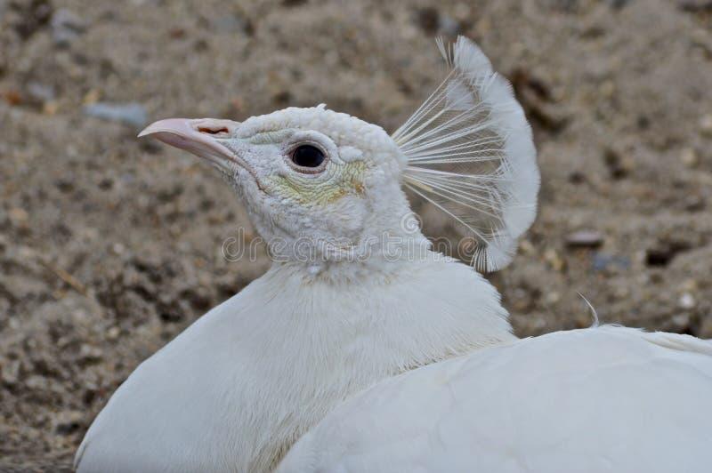 Το Peacock κοιτάζει επίμονα στοκ εικόνες