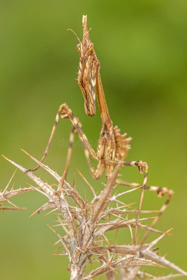 Το pennata Empusa mantis, μακροεντολή σε ένα λιβάδι στοκ φωτογραφίες με δικαίωμα ελεύθερης χρήσης