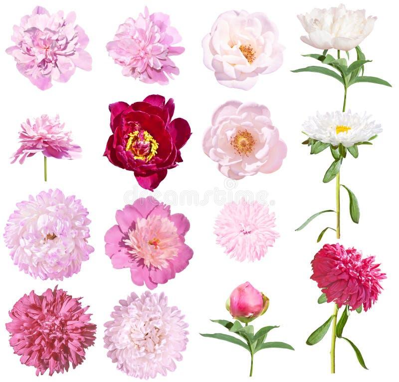 Το Peonies και τα asters καθορισμένα τα λουλούδια που απομονώνονται στο άσπρο υπόβαθρο Ρόδινα και άσπρα peonies, ρόδινα και άσπρα στοκ φωτογραφίες με δικαίωμα ελεύθερης χρήσης
