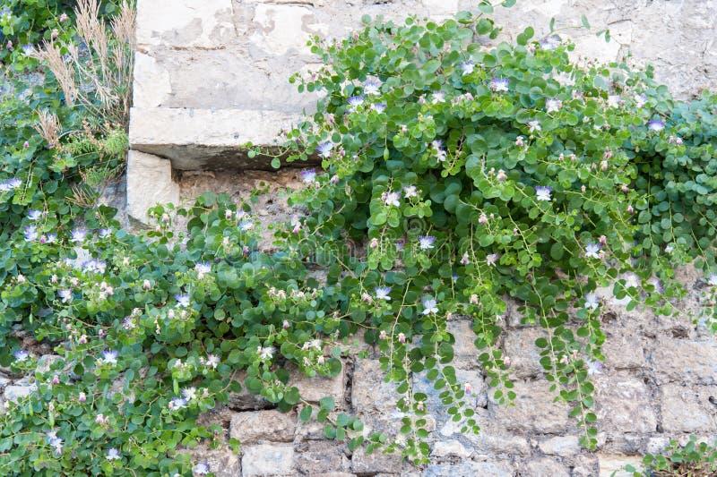 Το Peschici, εγκαταστάσεις καπάρων αυξάνεται στους τοίχους στοκ εικόνες