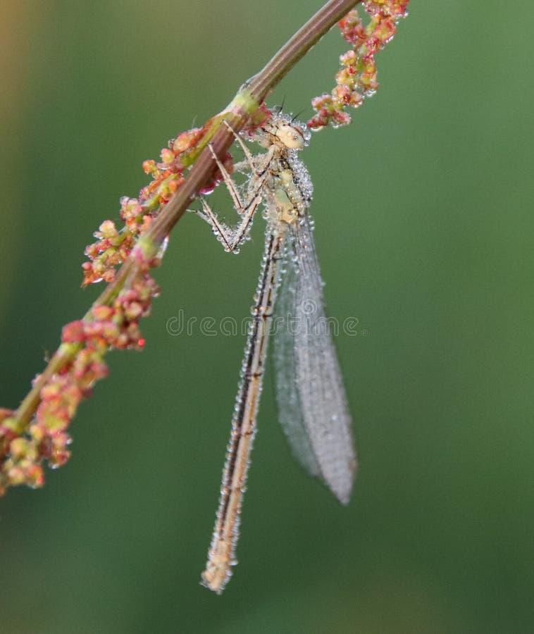 Το Platycnemididae είναι οικογένεια των damselflies στοκ φωτογραφία με δικαίωμα ελεύθερης χρήσης