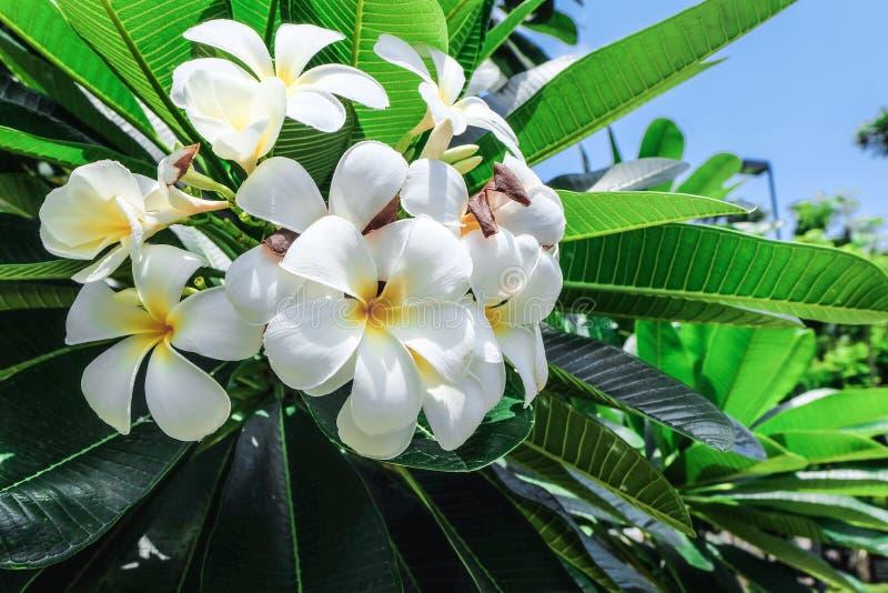 Το Plumeria στην πράσινη έννοια δέντρων στοκ εικόνες με δικαίωμα ελεύθερης χρήσης