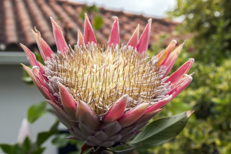 Το Protea cynaroides επίσης κάλεσε το protea βασιλιάδων στην άνθιση με το καταπληκτικό γιγαντιαίο λουλούδι στοκ φωτογραφίες με δικαίωμα ελεύθερης χρήσης