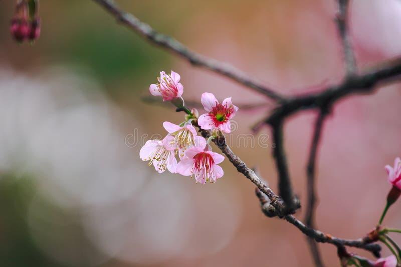 Το Prunus cerasoides είναι όμορφο ροζ στη φύση στοκ εικόνα