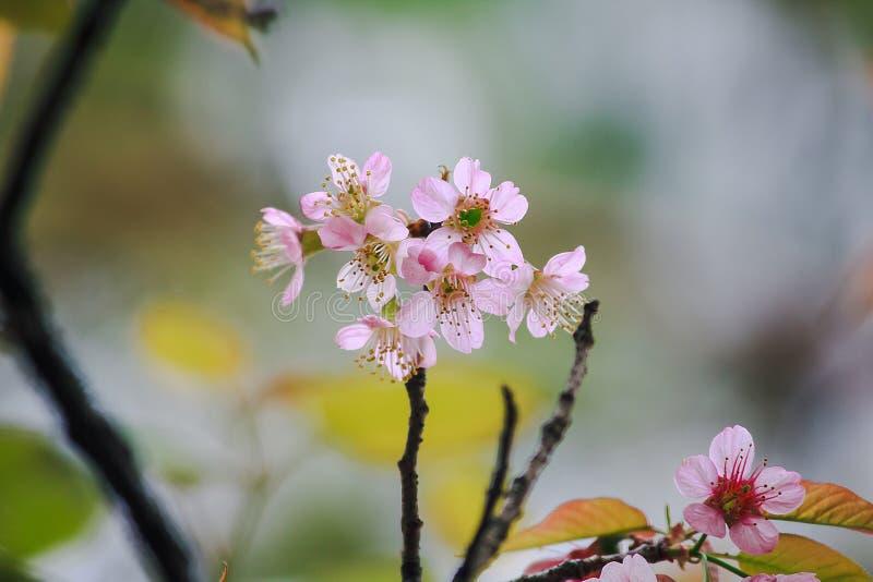Το Prunus cerasoides είναι όμορφο ροζ στη φύση στοκ εικόνες με δικαίωμα ελεύθερης χρήσης