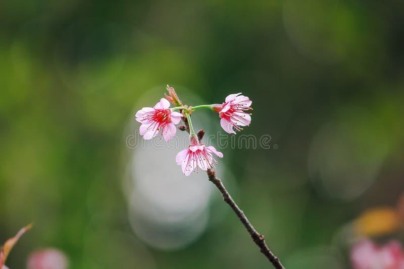 Το Prunus cerasoides είναι όμορφο ροζ στη φύση στοκ φωτογραφία