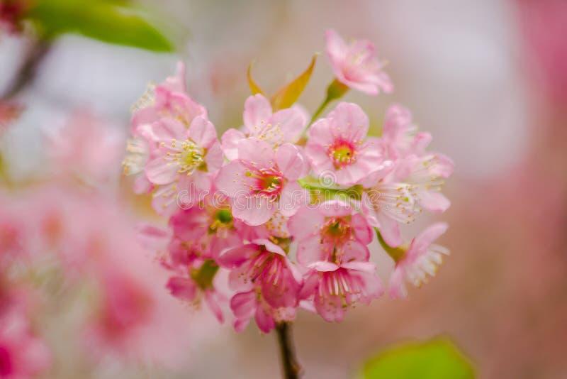 Το Prunus cerasoides είναι όμορφο ροζ στη φύση στοκ εικόνες