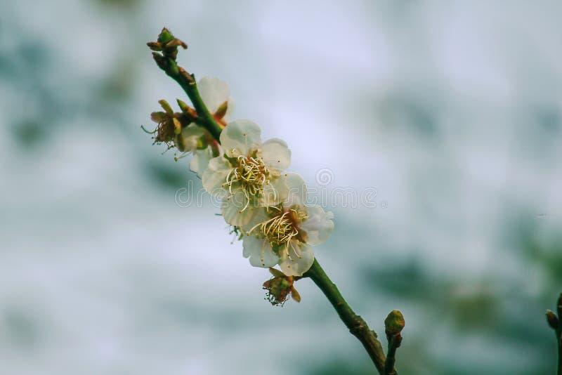 Το Prunus cerasoides είναι όμορφο ροζ στη φύση στοκ φωτογραφίες με δικαίωμα ελεύθερης χρήσης