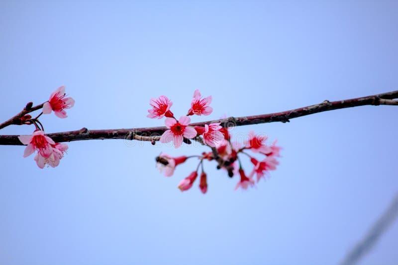 Το Prunus cerasoides είναι όμορφο ροζ στη φύση στοκ φωτογραφίες