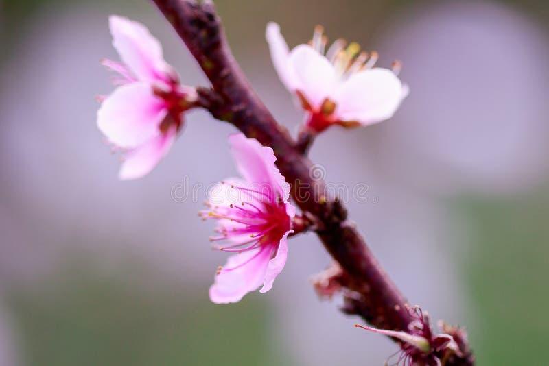 Το Prunus cerasoides είναι όμορφο ροζ στη φύση στοκ εικόνα με δικαίωμα ελεύθερης χρήσης