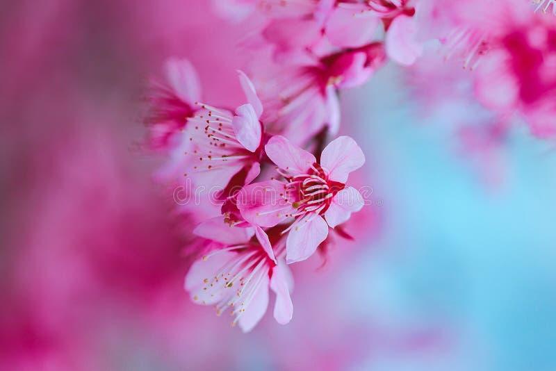 Το Prunus cerasoides είναι όμορφο ροζ στη φύση στοκ φωτογραφία με δικαίωμα ελεύθερης χρήσης